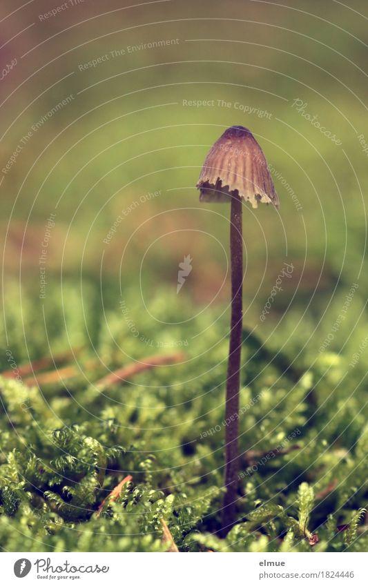 stielecht Natur Pflanze Herbst Moos Pilz Pilzhut Stengel Giftpilz Wald Hut stilecht Stillleben Schirm Schirmherrschaft stehen ästhetisch elegant klein lang