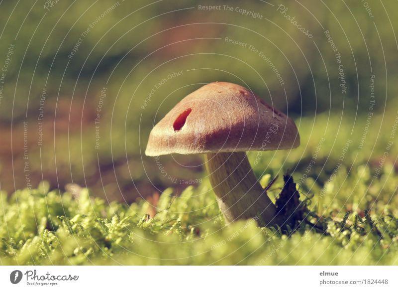 gut behütet Natur Pflanze Herbst Schönes Wetter Moos Pilz Pilzhut Gift ungenießbar Wald Hut Hutkrempe Schirm Schirmherrschaft stehen Wachstum klein Lebensfreude