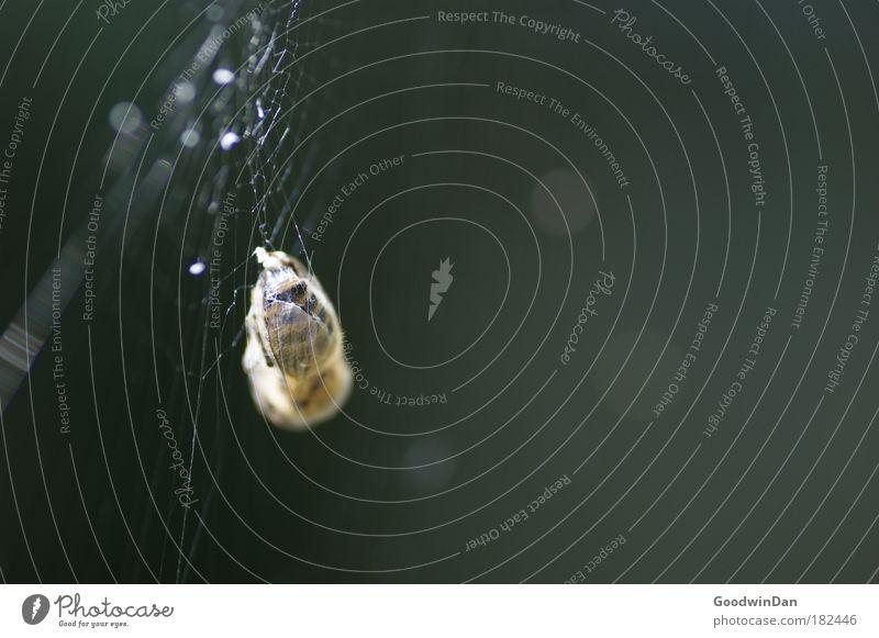 in die Falle getappt Biene hängen Spinnennetz Farbfoto Außenaufnahme Tag Sonnenlicht Starke Tiefenschärfe Beute Beuteltiere Tod Totes Tier Todeskampf gefangen
