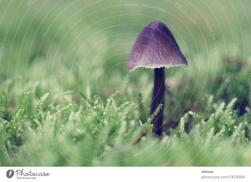 lila Schirmchen Natur Herbst Moos Wildpflanze Pilz Pilzhut Giftpilz Wald Schirmherrschaft stehen klein nah violett Tatkraft Romantik schön authentisch