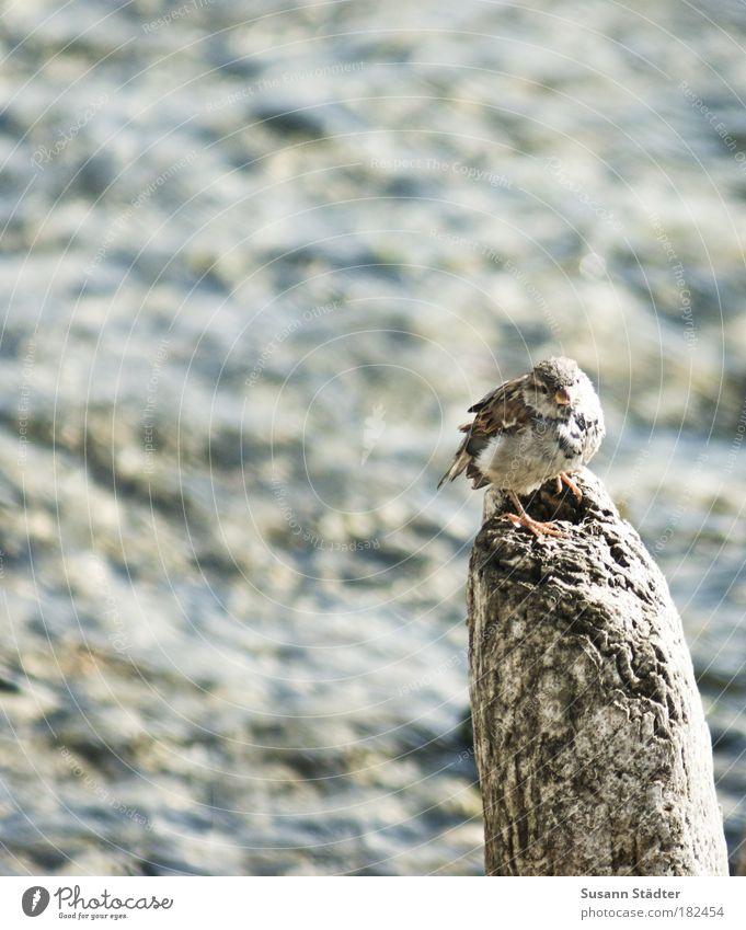 Vogelperspektive Sonne Tier warten Aussicht beobachten Wildtier niedlich Schönes Wetter Spatz Buhne listig Holzpfahl Überblick Sperlingsvögel