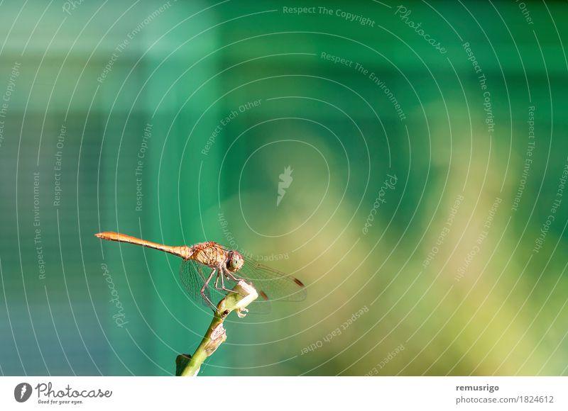 Libelle, die auf einer Anlage stillsteht Sommer Natur Pflanze Tier Park Flügel sitzen Wanze Auge Fauna Fliege Insekt aussruhen Farbfoto Außenaufnahme