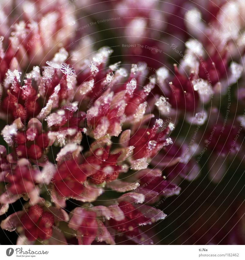 Mr.Frost Natur schön Wasser Pflanze rot Landschaft kalt Umwelt Leben rosa Eis Wetter Klima Schönes Wetter Wassertropfen einzigartig