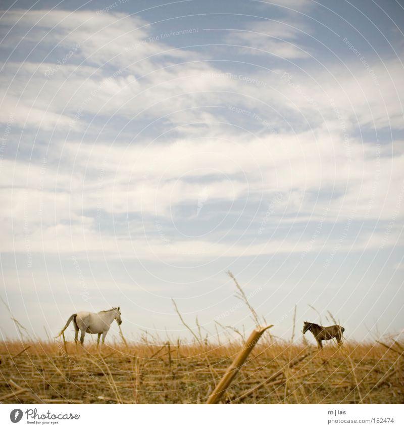 auf dem feld. Sommer Landschaft ruhig Wolken Tier Zufriedenheit Feld Häusliches Leben frisch elegant Kraft Wind stehen ästhetisch Perspektive Schönes Wetter