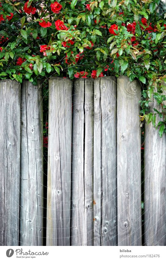 Grüne Grenze Natur grün Pflanze rot Sommer ruhig Garten grau Park Hintergrundbild gefährlich Sträucher Grenze Strukturen & Formen Grafik u. Illustration Zaun