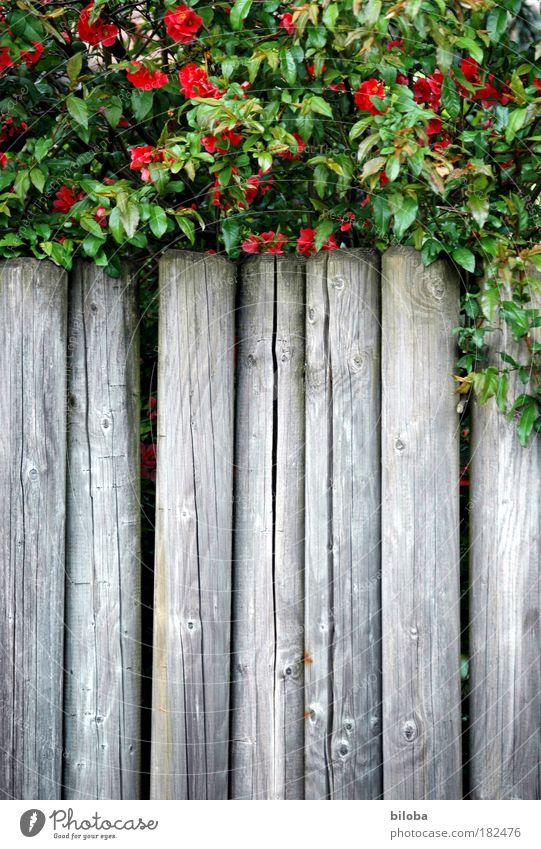 Grüne Grenze Natur grün Pflanze rot Sommer ruhig Garten grau Park Hintergrundbild gefährlich Sträucher Strukturen & Formen Grafik u. Illustration Zaun