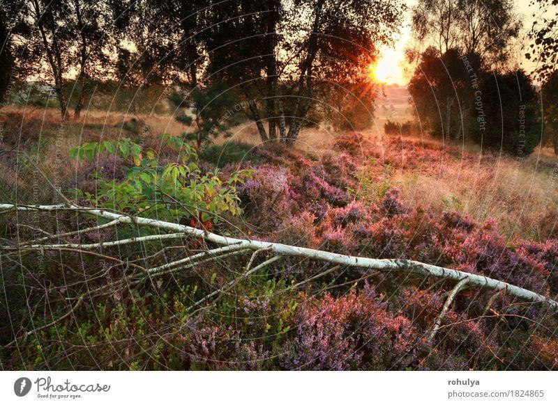 Morgen Sonnenlicht über blühende Heide im Birkenwald Natur Sommer Baum Blume Landschaft Wald Blüte Herbst Deutschland rosa wild Aussicht Europa Hügel