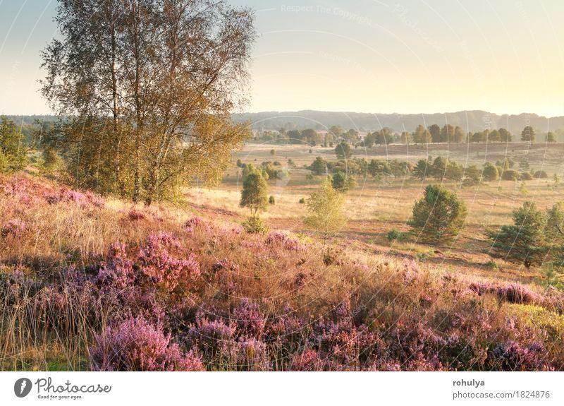 Hügel mit Heidekraut im Morgensonnenlicht Sommer Natur Landschaft Himmel Herbst Baum Blume Gras Blüte Wiese rosa Bergheide Leng Birke sonnig Grasland purpur