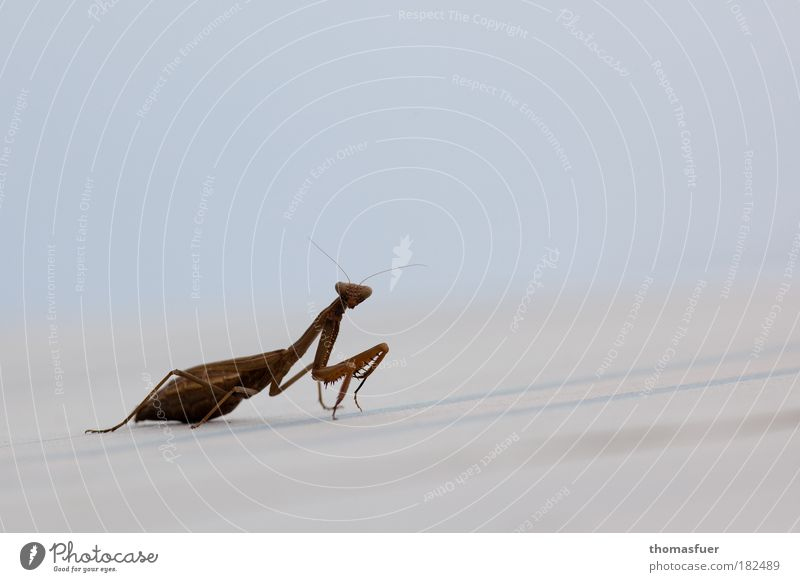 Herzilein Natur Tier Erholung braun elegant Umwelt Insekt Neugier Interesse krabbeln Gottesanbeterin