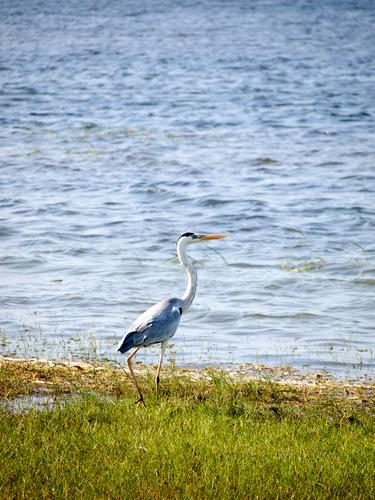 Herons in a national park in Asia Safari Expedition Landschaft Wildtier 1 Tier füttern animal animals herons fish free freedom wing wings feather feathers bird