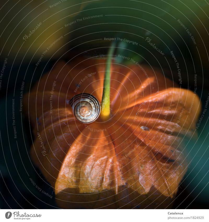 Leerstehend Pflanze grün Tier Herbst Garten Stimmung orange ästhetisch Vergänglichkeit Wandel & Veränderung Schnecke Schneckenhaus Physalis Lampionblume