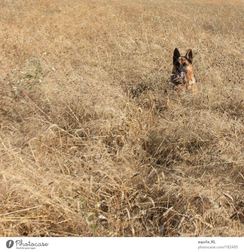 Inkognito Tier Hund Wärme Feld planen beobachten verstecken Getreide Haustier Roggen Deutscher Schäferhund