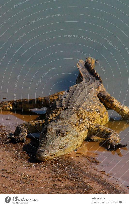 Safarikrokodil Jagd Ferien & Urlaub & Reisen Abenteuer Natur Tier Wasser Seeufer Flussufer Wildtier Schuppen Krallen Krokodil 1 Aggression wild gefährlich