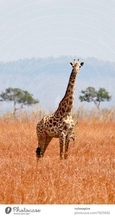 Safarigiraffe Himmel Natur Ferien & Urlaub & Reisen Sommer Landschaft Tier Ferne Umwelt Wiese Erde Wildtier beobachten Abenteuer Hügel Wüste Fell