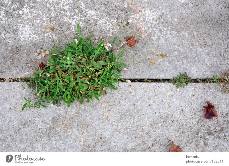 Es grünt so grün auch Beton kann blühn Natur Pflanze Blatt Einsamkeit Herbst Gras Kraft Umwelt Wachstum Platz natürlich stark Bürgersteig Detailaufnahme