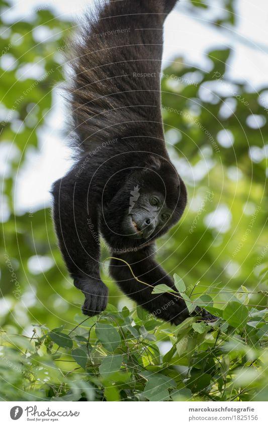 Mantelbrüllaffe Natur Urwald Tier Wildtier Tiergesicht Fell Pfote Affen Brüllaffe 1 Essen festhalten hängen leuchten Costa Rica Südamerika Howling Monkey