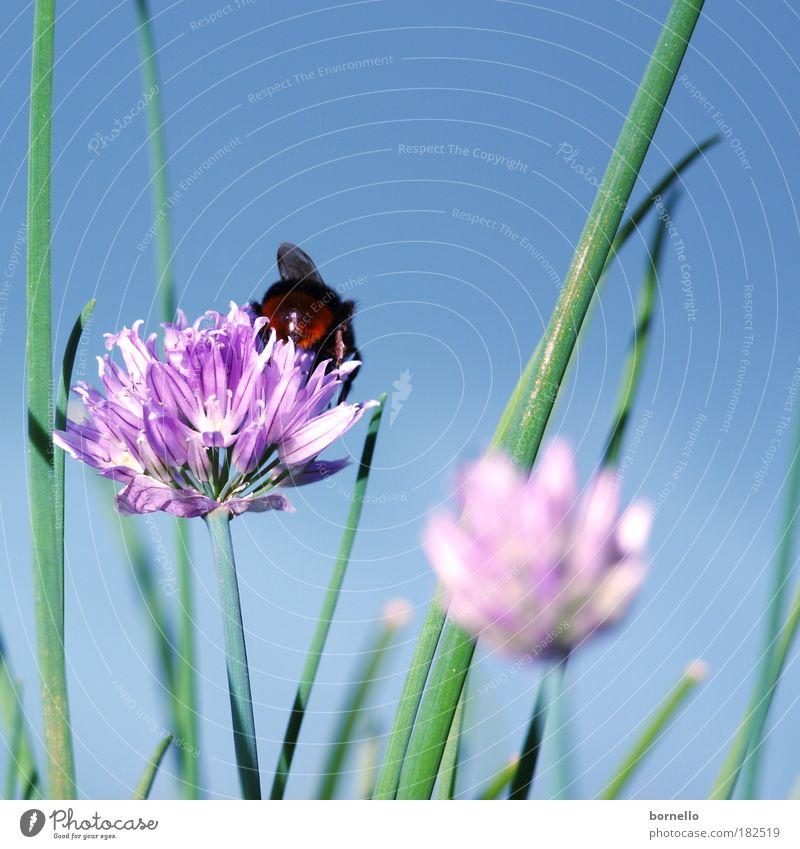 Sommertag grün Pflanze ruhig Tier Wiese Blüte träumen Park weich violett Flügel natürlich Biene Duft genießen