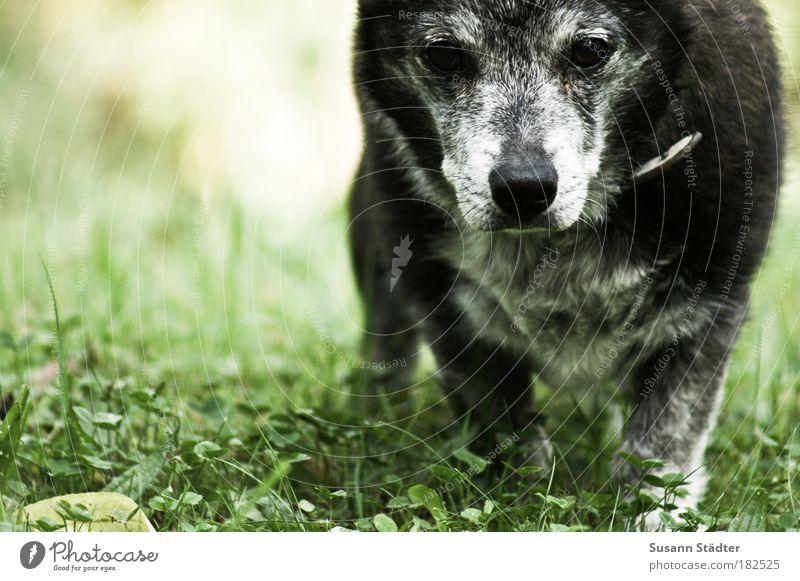 Großvater alt Pflanze Blatt Wiese Blüte Bewegung grau Hund Park Denken gehen Erde beobachten Fell genießen Schönes Wetter