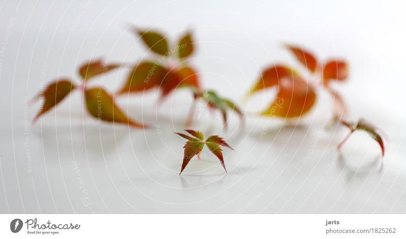 wilder wein VI Pflanze Herbst Blatt Wildpflanze frisch natürlich schön grün orange rot Natur Wilder Wein Farbfoto mehrfarbig Studioaufnahme Menschenleer