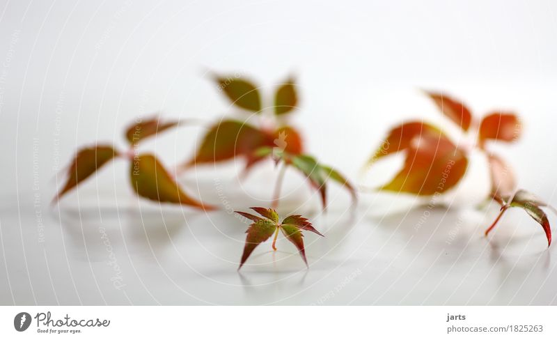wilder wein VII Herbst Pflanze Blatt natürlich schön mehrfarbig grün orange rot Natur Wilder Wein Innenaufnahme Studioaufnahme Menschenleer Textfreiraum links