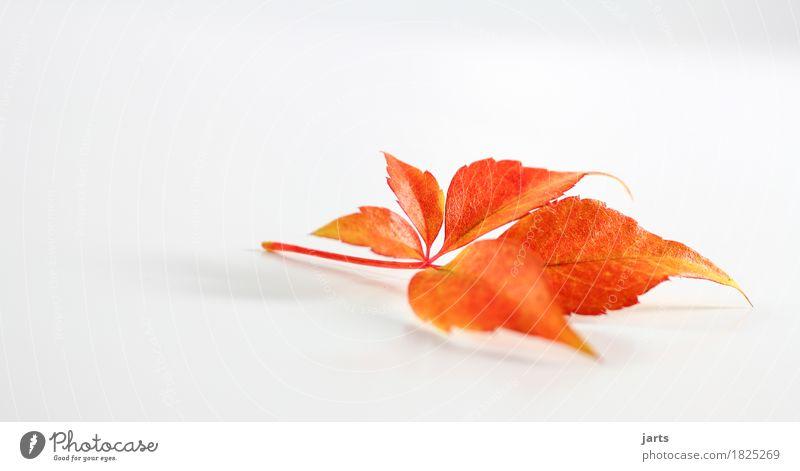 herbstblatt IV Pflanze Herbst Blatt liegen natürlich schön gelb orange rot Gelassenheit ruhig Natur Farbfoto mehrfarbig Studioaufnahme Menschenleer
