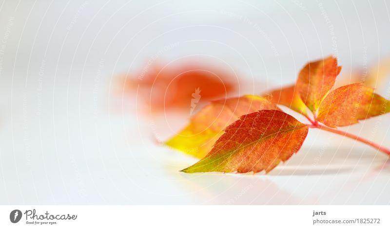 herbstblatt Natur Pflanze grün rot Blatt Herbst orange liegen frisch Geschwindigkeit
