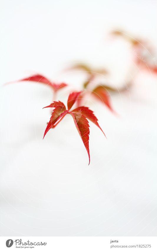 wilder wein III Pflanze Herbst Blatt natürlich schön orange rot Natur Wilder Wein Farbfoto mehrfarbig Studioaufnahme Nahaufnahme Detailaufnahme Menschenleer