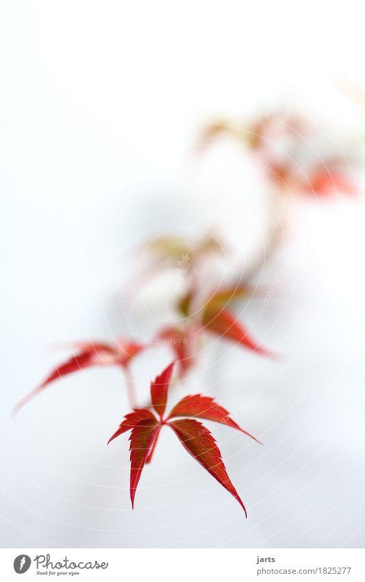 wilder wein II Pflanze Herbst Blatt Wachstum lang natürlich schön grün orange rot Natur Jahreszeiten Wilder Wein Farbfoto mehrfarbig Studioaufnahme Nahaufnahme