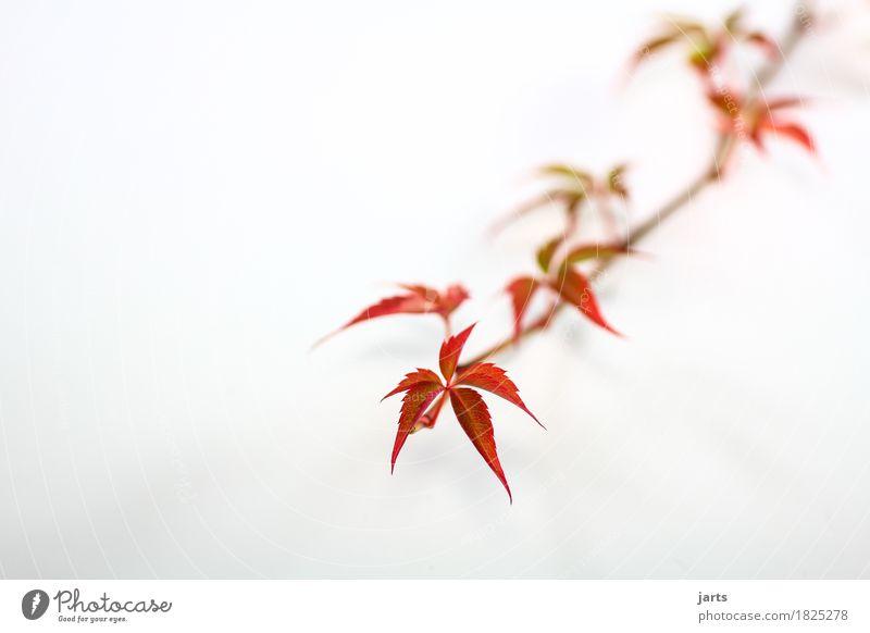 wilder wein I Pflanze Herbst Blatt Wachstum lang natürlich Geschwindigkeit grün rot Natur Wilder Wein Farbfoto mehrfarbig Studioaufnahme Nahaufnahme