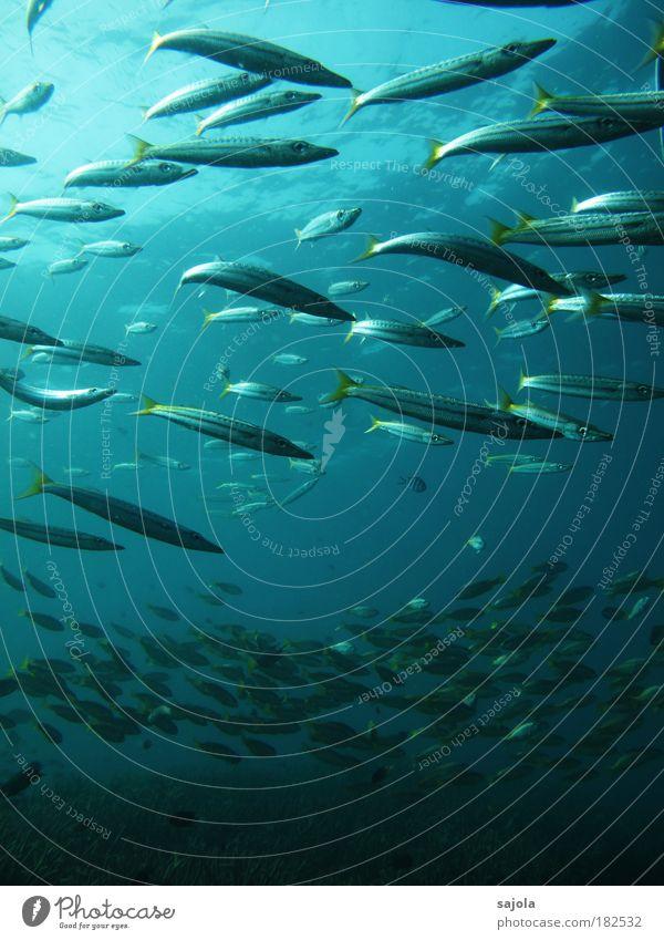 fish market Wasser Meer blau Tier gelb Unterwasseraufnahme Umwelt Fisch Tiergruppe Asien Wildtier silber Urelemente Schwarm Hochformat