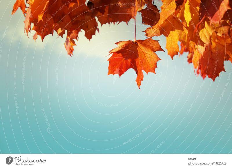 Blätterdach Natur schön Himmel Pflanze Blatt Herbst ästhetisch Jahreszeiten Schönes Wetter Blauer Himmel Herbstlaub Oktober herbstlich Herbstbeginn Herbstwetter