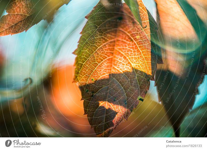 Jungfernrebe Garten Natur Pflanze Herbst Blatt Kletterpflanzen Wilder Wein dehydrieren wandern grün orange türkis Erfolg Kraft Überleben Umwelt Farbfoto