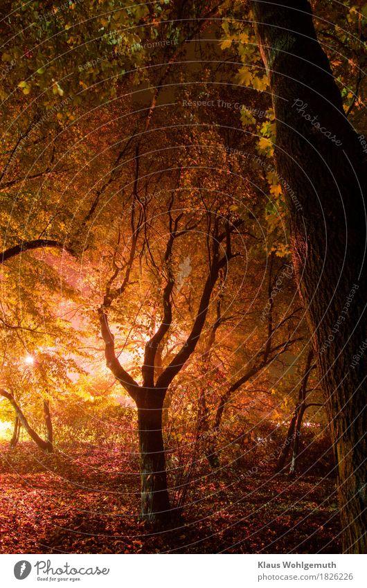 Der Herbst naht Umwelt Natur Nebel Pflanze Baum Ahornblatt Park Wald Salow leuchten nass braun gelb gold grau grün violett schwarz weiß Farbfoto Außenaufnahme