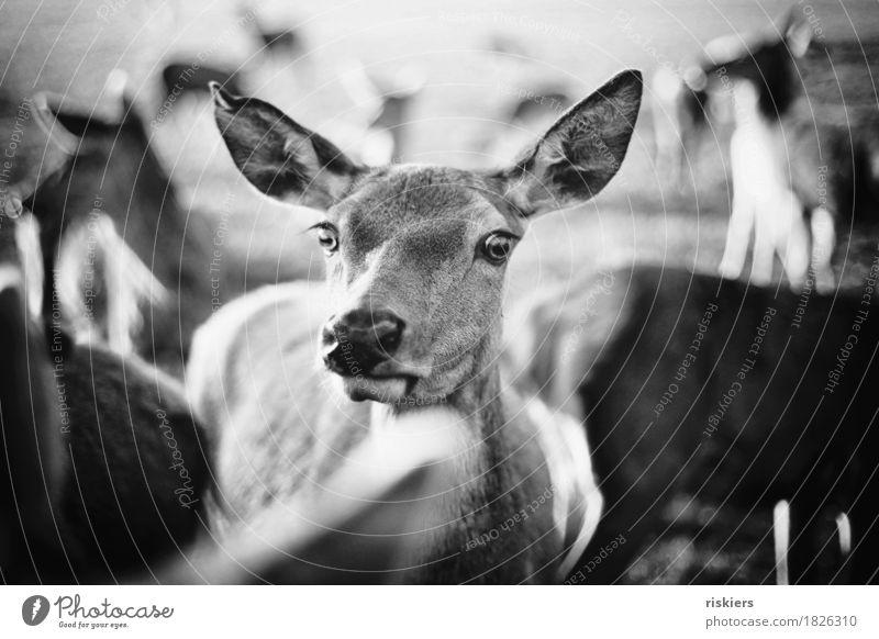 glowing deer Umwelt Natur Herbst Tier Wildtier Tiergruppe Herde leuchten Blick Neugier Reh Rehauge Schwarzweißfoto Außenaufnahme Menschenleer