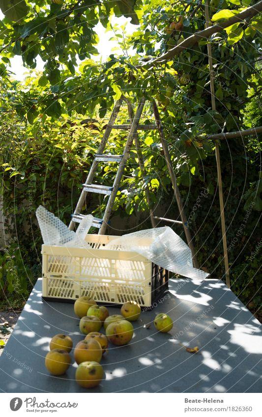 Der Apfel fällt nicht weit vom Stamm Lebensmittel Frucht Natur Herbst Baum Nutzpflanze Garten Essen Fitness Duft frisch Gesundheit süß grün Ernte Apfelbaum