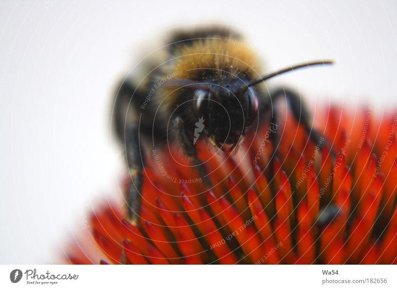 auf Honigsuche Natur schön rot schwarz Farbe Arbeit & Erwerbstätigkeit Glück Zufriedenheit gold elegant süß natürlich Sauberkeit fantastisch berühren Idylle