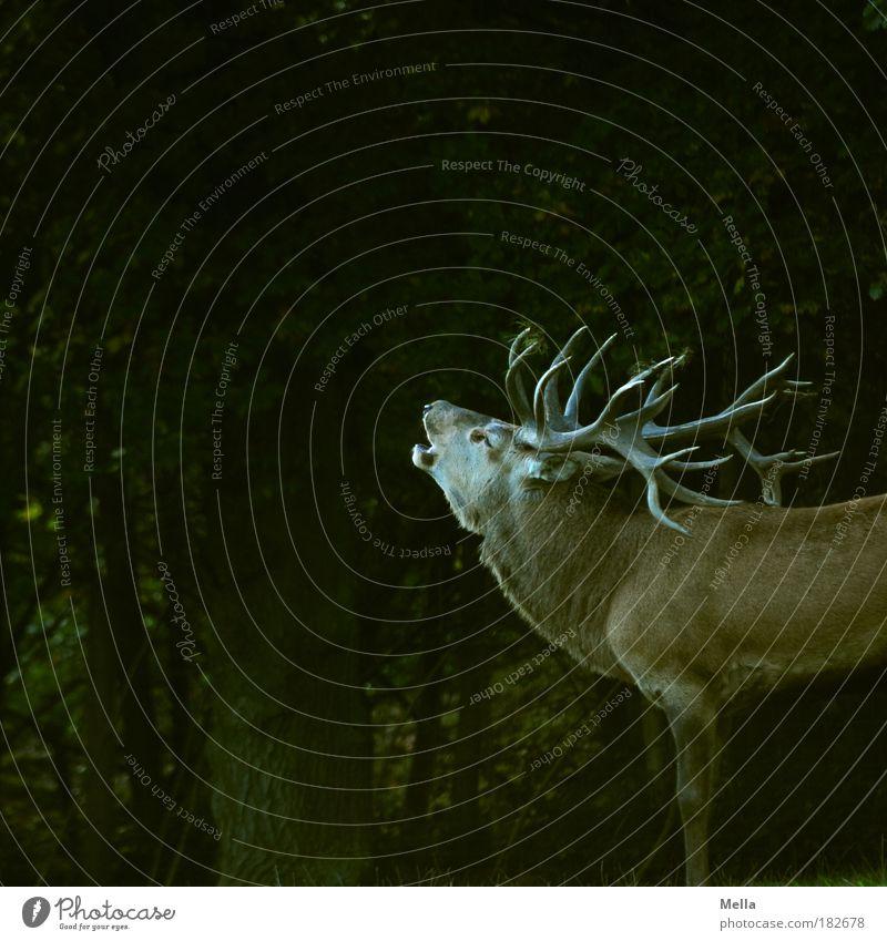 Partnersuche Tier Herbst Wald Wildtier Hirsche Horn 1 Brunft stehen stark Begeisterung Euphorie Kraft Begierde Lust Natur Stolz Umwelt Umweltschutz röhren