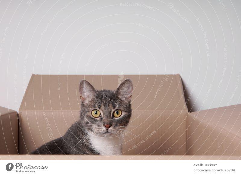 Katze im Karton Tier Haustier 1 Tierjunges Spielen Hauskatze Tigerfellmuster grau Pappschachtel Kiste Schachtel sitzen verstecken Versteck Neugier Wachsamkeit