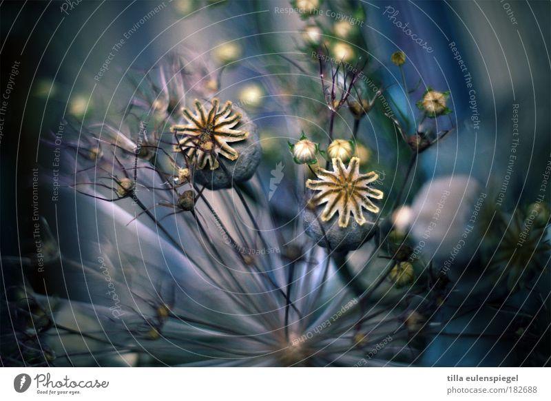 never ending story Natur schön Blume blau Pflanze Farbe Leben Gras Linie ästhetisch Vergänglichkeit einzigartig außergewöhnlich Mohn Blumenstrauß trocken