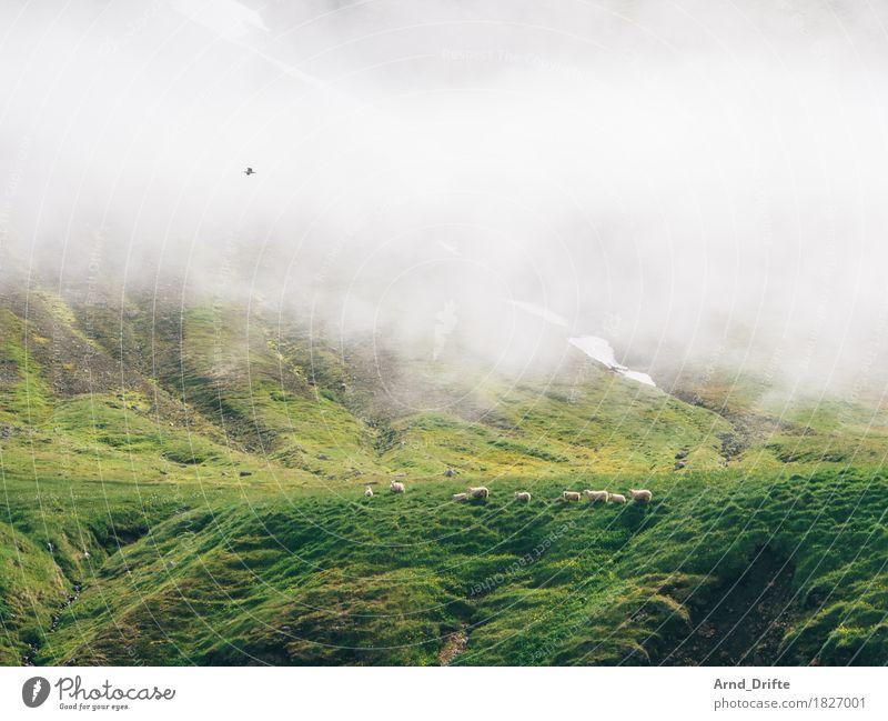 Schafe in Island Ferien & Urlaub & Reisen Ausflug Abenteuer Natur Landschaft Pflanze Tier Nebel Sträucher Moos Wiese Feld Hügel Felsen Berge u. Gebirge Bucht