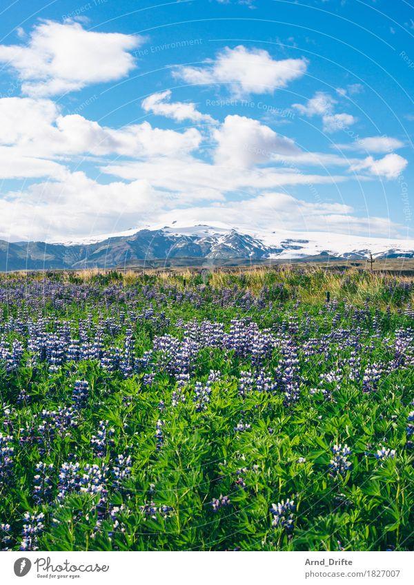 Lupinenfeld mit Gletscher Himmel Natur Ferien & Urlaub & Reisen Pflanze blau Sommer Landschaft Wolken Ferne Berge u. Gebirge Wiese Gras Freiheit Tourismus