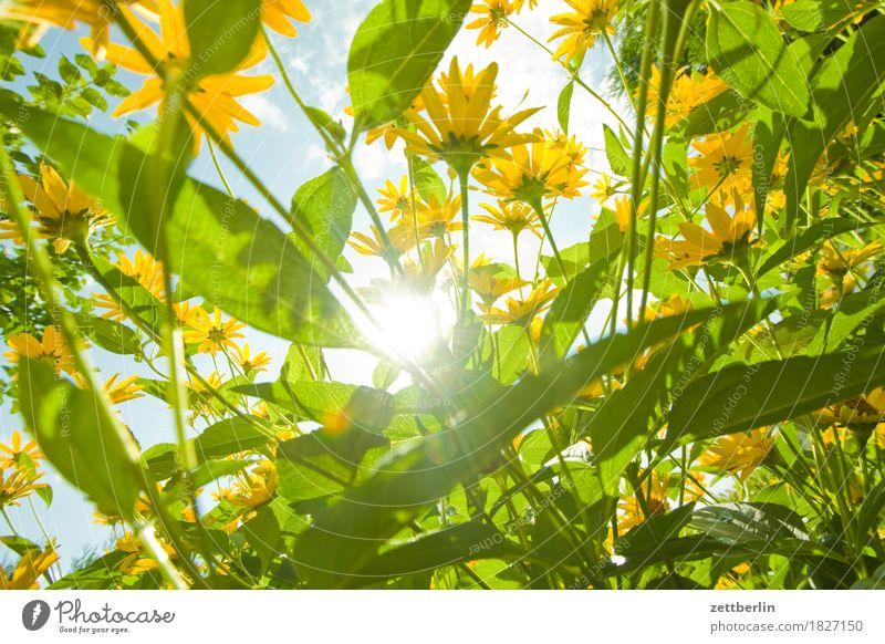 Rudbeckia Blume Blühend Blüte Roter Sonnenhut Garten Himmel Schrebergarten Pflanze Sommer Stauden Blütenstauden Umwelt Natur Landschaft Schönes Wetter Blatt