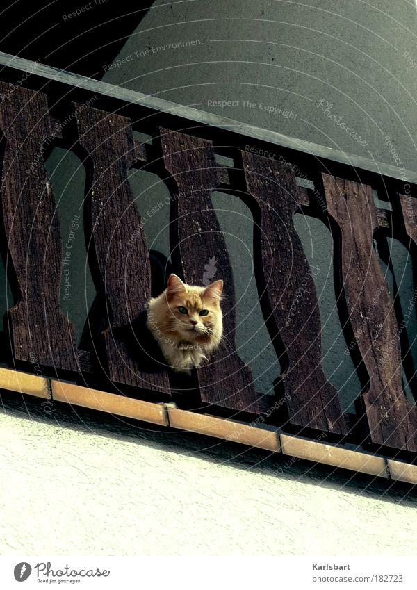 mau. Katze Tier ruhig Haus Holz Freiheit Stimmung Wohnung elegant Häusliches Leben Neugier Schutz Geländer Dorf Balkon