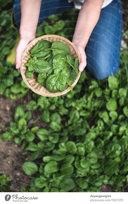 Spinat in einem Hausgarten auswählen Natur Pflanze grün Hand Landschaft Blatt natürlich Garten Wachstum frisch Boden Gemüse Bauernhof Ernte Ackerbau ländlich