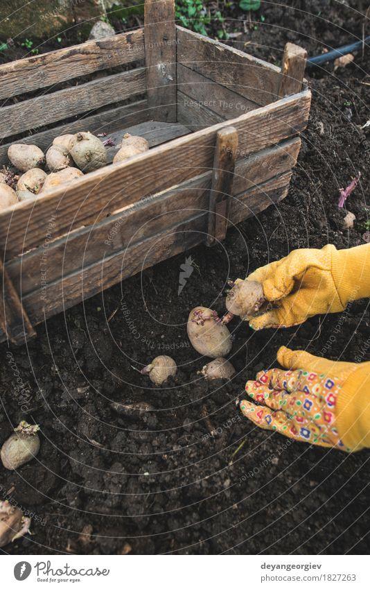 Kartoffeln im kleinen Biogarten pflanzen Natur Pflanze natürlich Garten Erde Wachstum frisch Boden Gemüse Bauernhof Ackerbau Gartenarbeit Kiste Wurzel roh