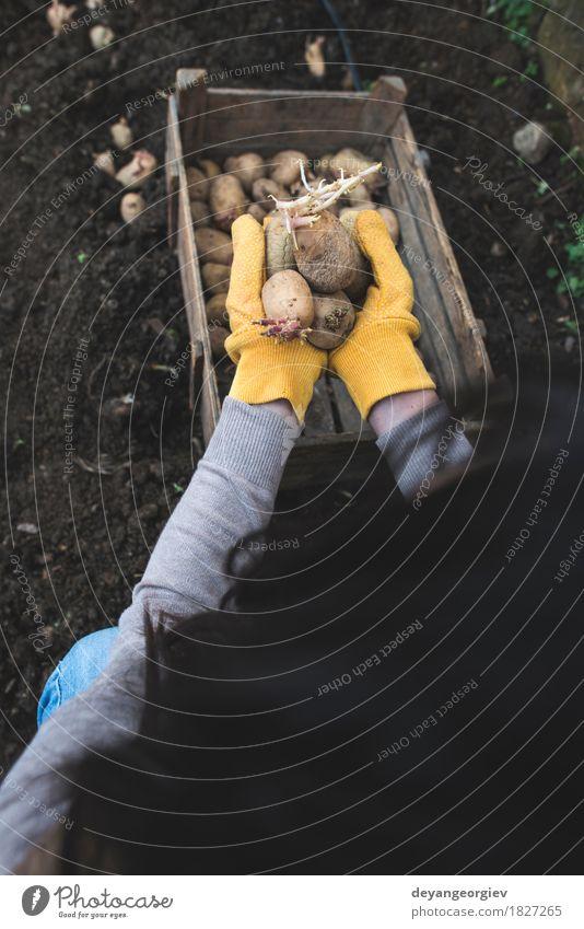 Kartoffeln im kleinen Garten pflanzen Gemüse Gartenarbeit Frau Erwachsene Hand Natur Pflanze Erde Wachstum frisch natürlich Samen Lebensmittel organisch Kiste