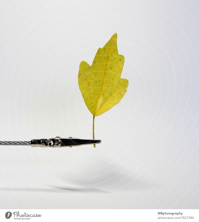 Gelbes Herbstblatt vor weißem Hintergrund Natur Pflanze Baum Blatt Herbstlaub herbstlich alt außergewöhnlich einfach natürlich gelb Werkstatt