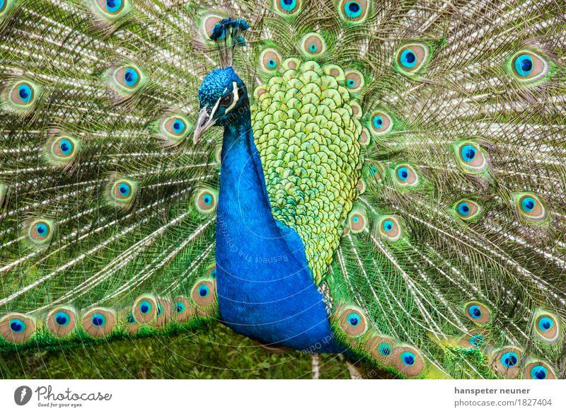 Pfau, Rad schlagend Haustier Vogel Tiergesicht Zoo 1 Ornament Brunft leuchten Liebe ästhetisch authentisch Coolness elegant Erotik natürlich blau grün