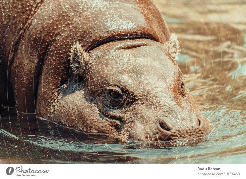 Gemeiner Nilpferd (Hippopotamus Amphibius) in Afrika Umwelt Natur Tier Wasser Sommer Fluss Wildtier Tiergesicht 1 Schwimmen & Baden Aggression bedrohlich