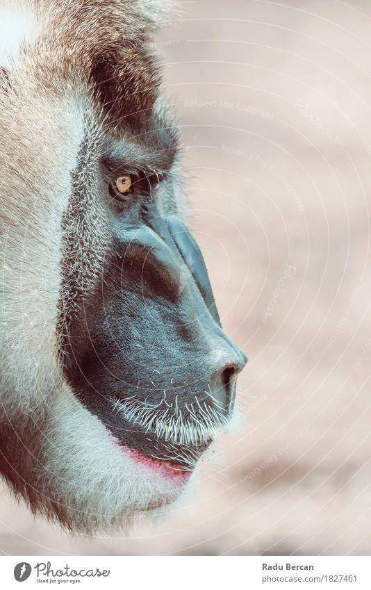 Porträt des Drill Monkey (Mandrillus Leukophaeus) Natur Tier schwarz natürlich braun wild Kraft Wildtier beobachten bedrohlich Macht stark Wut Afrika